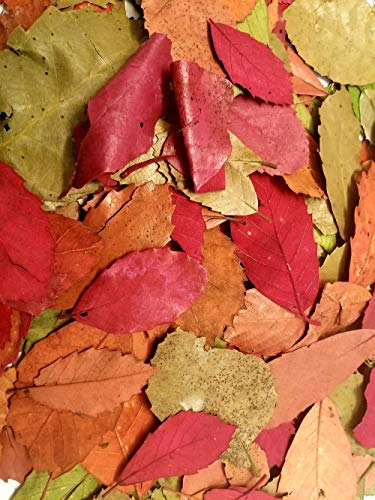 Little Valley Autumn Fall Leaves - These are Real Treated Leaves, Not Artificial - Perfect for Fall Decor, Crafts, Weddings, Bowl Filling, Potpourri -