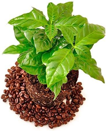 Café árabe - 6 semillas: Amazon.es: Jardín