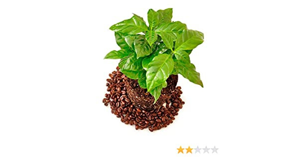 COLUMBIAN Tropical House Plant ONE POUND SEEDS Coffee Bean Plant Seeds