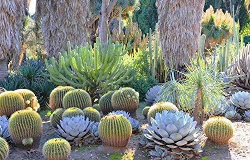 Golden Barrel' 14'' Plus Echinocactus Grusonii Cactus Specimen Very Large Drought Tolerant Plant by THE NEXT GARDENER (Image #3)