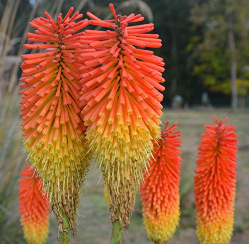 Portal Cool Red Hot Poker 100 Seeds Kniphofia Red and Yellow Flowers Ez to Grow