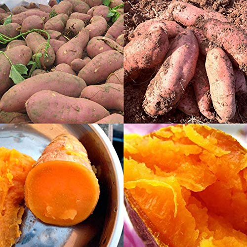 (LOadSEcr's Garden 20Pcs Sweet Potato Seeds Bonsai Non-GMO Ornamental Plants Yard Office Decoration, Open Pollinated Seeds - Sweet Potato Seeds)
