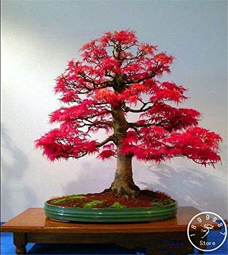 (Go Garden 50 Canada Mini Red Maple Bonsai Garden DIY Bonsai Maple Tree Plant, WC9TON: 10)