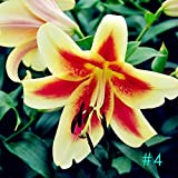 Sholdnut Home Garden Balcony Perfume Lily with Buds Green Plants Potted Flower Seeds Flowers