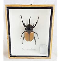 Real 5 Horned Beetle Bug Eupatorus Gracilicornis Rhinoceros Taxidermy Insect Box Framed Display