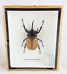 Real Eupatorus Gracilicornis 5 Horn Rhino Beetle Specimen Taxidermy Insect Box Entomology Gift