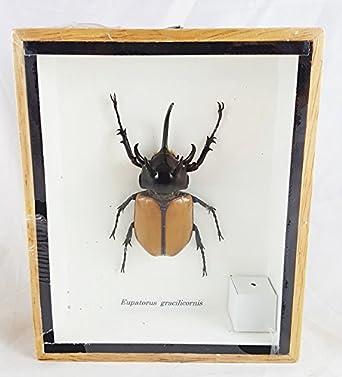 Real Eupatorus Gracilicornis 5 Horn Rhino Beetle Specimen Taxidermy