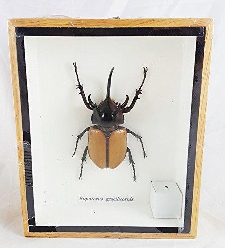 Real Eupatorus Gracilicornis 5 Horn Rhino Beetle Specimen Taxidermy Insect Box Entomology Gift