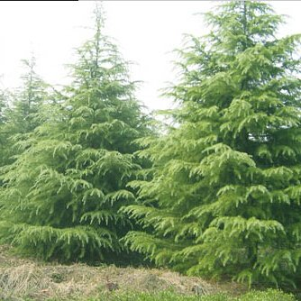 LOSS PROMOTION SALE! 20pcs Glacial Perennial evergreen trees seeds Cedar seeds