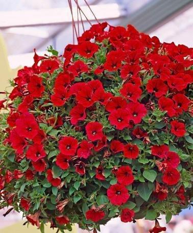 SVI Petunia red Flowers Seeds (GMO Free) Organic Garden (2 Packets) Garden Plant Seeds by (Petunia Seed Organic)