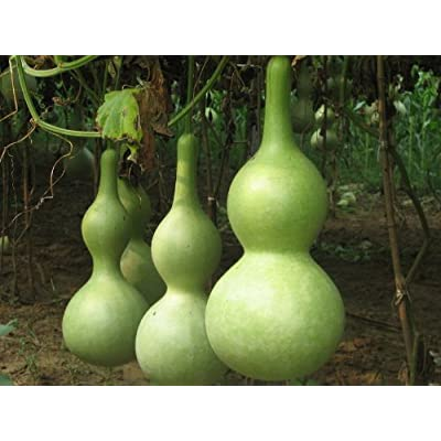 SD0002 Gourd Seeds, High Germination, Seed Grows in All Seasons (15 Seeds) : Gourd Plants : Garden & Outdoor