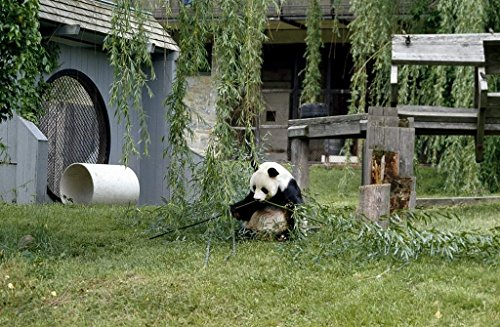 Photograph| A giant panda, the star attraction at the Smithsonian Institution's National Zoo, Washington, D.C. 3 Fine Art Photo Reproduction 44in x 30in