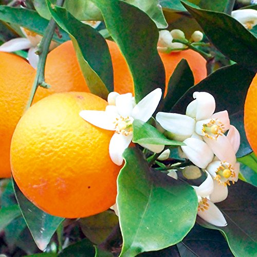 Orange 1-1.5 metres tall Citrus Tree