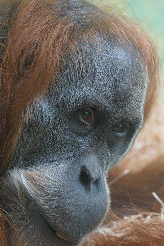 Orangutan Portrait Animal Journal: 150 Page Lined Notebook/Diary ()