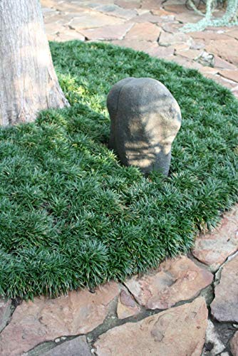 - Dwarf Mondo Grass Qty 20 Live Plants Shade Loving Evergreen Ground Cover