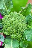Burpee Broccoli 'Eastern Magic' 6 Plants for Fall Planting