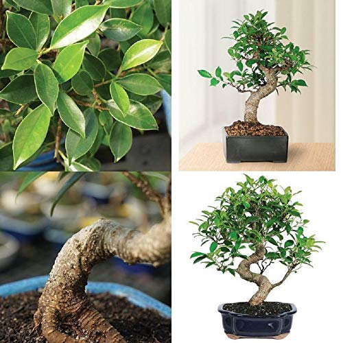 Golden Gate Ficus Bonsai Tree Tropical Live Plant Beauty Indoor 7 Years Old V3 by Iniloplant (Image #1)