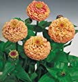 David's Garden Seeds Flower Zinnia Oklahoma Salmon Heat Tolerant D3667FV (Pink) 100 Open Pollinated Seeds