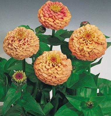 David's Garden Seeds Flower Zinnia Oklahoma Salmon Heat Tolerant D3667FV (Pink) 100 Open Pollinated Seeds