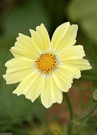 Amazon.com: Cosmos flores semillas, color amarillo 1000 ...