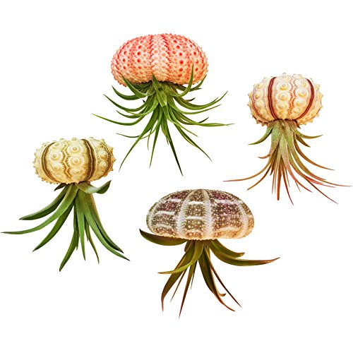 - Bliss Gardens 4 pc Hanging Air Plant Jellyfish Set/Includes Air Plants, Shells and Gift Box