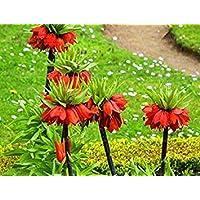 Potseed 10 PC/Bolso Semillas Corona Imperial 9 Colores Fritillaria Imperialis Semillas molidas CoverFlower Semillas…