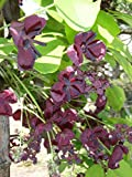 Akebia quinata CHOCOLATE VINE Seeds!