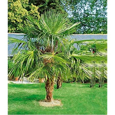 Humany flowerseeds- Hardy Palm Seed Rare Palm Fern Exotic Tree Feather Palm Hardy Perennial Palm Tree Indoor Plants for Patio/Balcony/Garden : Garden & Outdoor