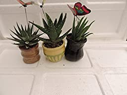jmbamboo-3 Different Aloe Plants - Easy to grow/Hard to Kill! - 3\