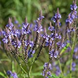 Blue Vervain Seeds (Verbena hastata) 40+ Medicinal Herb Seeds + FREE Bonus 6 Variety Seed Pack - a $29.95 Value! Packed in FROZEN SEED CAPSULES for Growing Seeds Now or Saving Seeds for Years