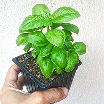 One Organic Sweet Basil Plants - Heirloom NON-GMO