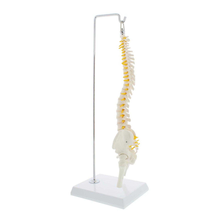 Mondo Miniature Vertebral Column Model with Spinal Nerves Half-Size Flexible Spine Model with Stand MonMed Pelvis Femur