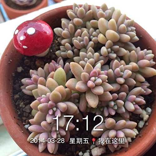 Brend New!!! 60pc German imports of potted flowers sedum succulents seed radiation wonderful fleshy seed