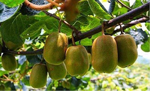 4 libras (1816 gramos) Fruta de kiwi corta rodajas secas de Yunnan: Amazon.es: Alimentación y bebidas
