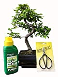 Bonsai Tree - Gift Set - Chinese Elm 20-25cm in Blue Ceramic Pot and Supplied with a driptray