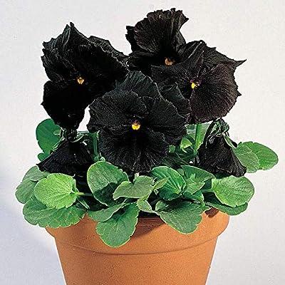 Semillas BloomGreen Co. Flor: Pensamiento Negro fresco Hyb Pot ...