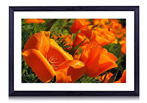 California Poppy Photo - 2