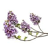 Paulownia Tomentosa 100 seeds -Princess tree-