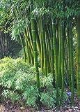 Tropica hierba y bambús - gran Dendrocalamus arundinacea - 50 semillas