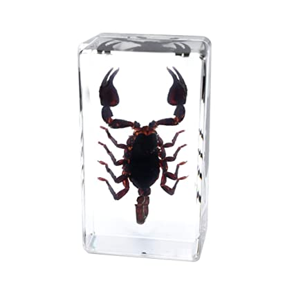 Buthus martensii Scorpion Specimen Animal Paperweight Taxidermy for Science Education