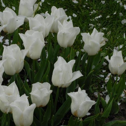 SILKSART 25 Quality Tulip Bulbs - Kiwanis (White) - Imported from Holland Tulip Bulbs for Planting perennial From Amsterdam