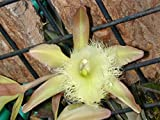 Andy`s Orchids - Rhyncholaelia (Brassavola) digbyana - Orchid Plant - Fragrant - Easy-Grower - Indigenous to Honduras