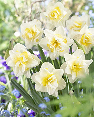 5 Double White Yellow Daffodil Bulbs Garden Hardy Perennial Fall Narcissus Bulb