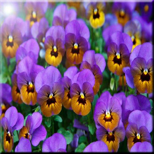 4 by 4-Inch Rikki Knight Purple Pansies Flowers in Field Design Art Ceramic Tile