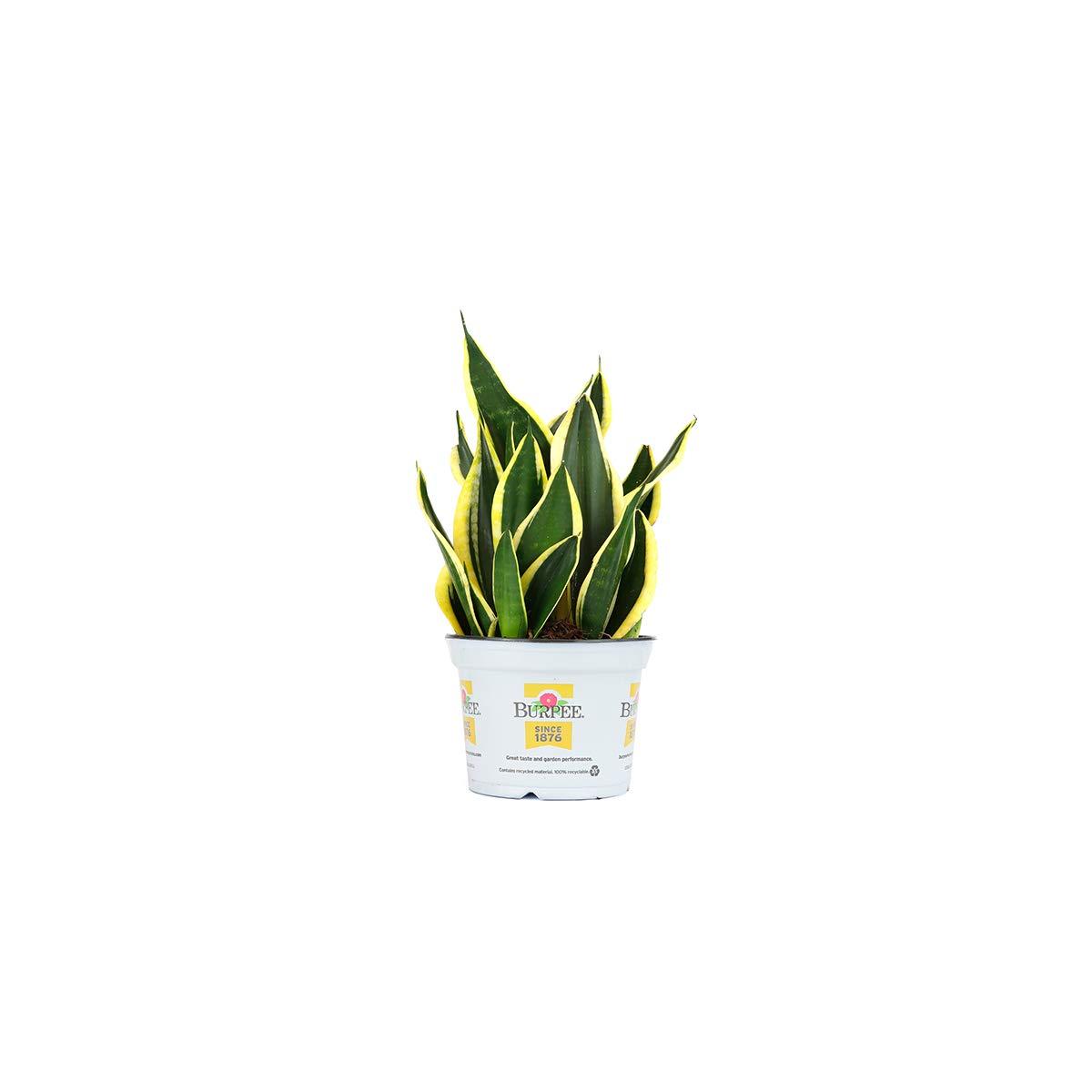 Burpee Sanseviera laurentii Golden Snake Indirect Medium Light     Live Easy Care House Plant, 6'' Pot