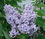 President Grevy Blue French Lilac (Syringa) - Live Plant - Quart Pot