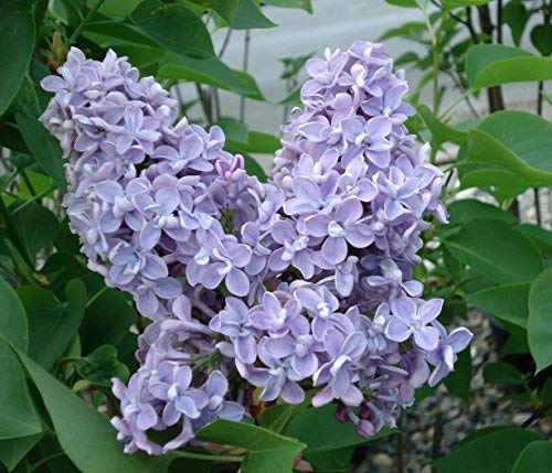 President Grevy Blue French Lilac (Syringa) - Live Plant - Quart Pot by New Life Nursery & Garden (Image #3)