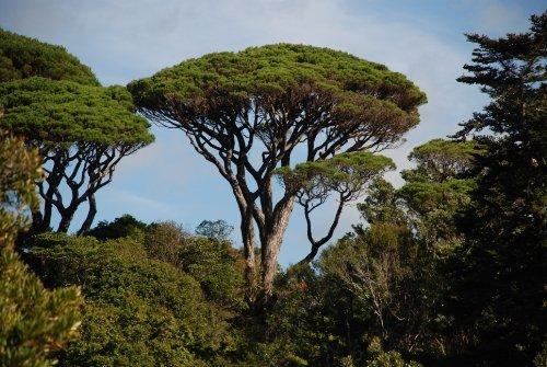 Umbrella Pine Tree - Pinus pinea: Italian Stone Pine Seeds