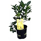 "Meyer Lemon Tree - Fruiting Size/Branched Plant - 8"" Pot"