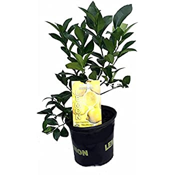 "Meyer Lemon Tree - Fruiting Size - 8"" Pot -No Ship to TX, FL, AZ, CA, LA, HI"